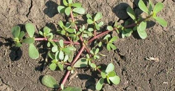 Го корнеме и газиме како да е трева а лекува 1 000 болести