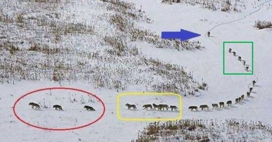 Фотографија од чопор волци која раскажува неверојатна приказна