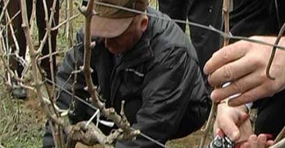 Традиционално закројување на виновите лози за Свети Трифун