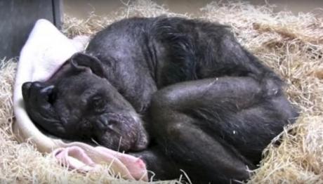 Емотивен момент: Погледнете како шимпанзо пред смртта се поздрави со својот другар